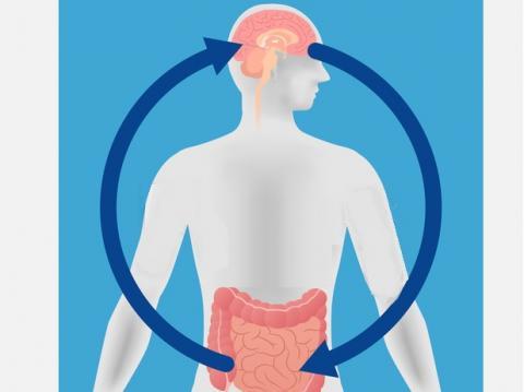 Un lien intestin-cerveau jusque-là inconnu contribue à expliquer comment des portions supplémentaires conduisent à une prise de poids.