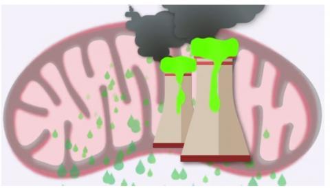 Après 48 heures, les mitochondries accusent toujours une fuite d'oxygène réactif