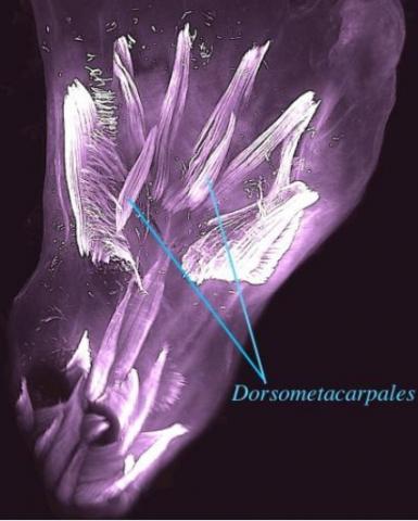 Ces muscles sont en réalité formés au début du développement humain puis perdus avant la naissance