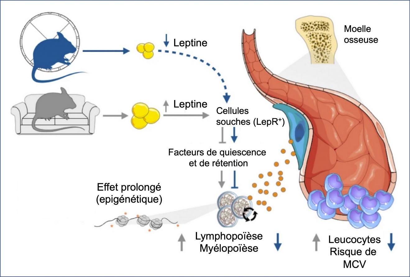 https://observatoireprevention.org/wp-content/uploads/2020/01/Exercice_leptine_Nature_Medecine-scaled.jpg