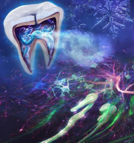 Les odontoblastes contenant le canal ionique TRPC5 (vert) situés juste à la limite entre la pulpe et la dentine dans la molaire transmettent des signaux de douleur en cas d'exposition au froid (Visuel L. Bernal et al./Science Advances 2021)